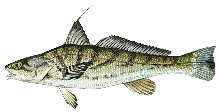 Delaware fish facts for the recreational angler for Nj saltwater fish